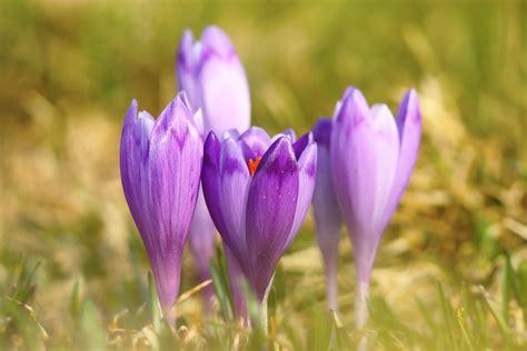 saffron crocus bulbs crocus sativus buy 3 sets and get