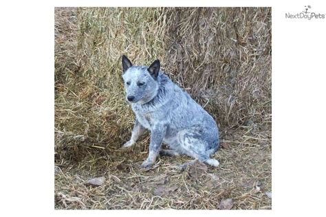 queensland blue blue the heeler australian cattle australian