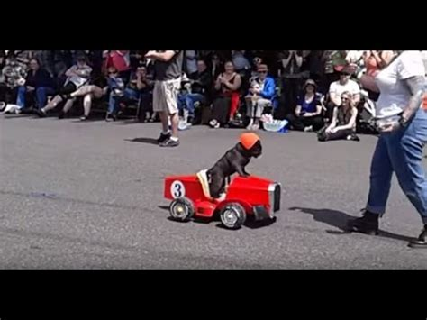 pug driving car viral uk pug driving racing car