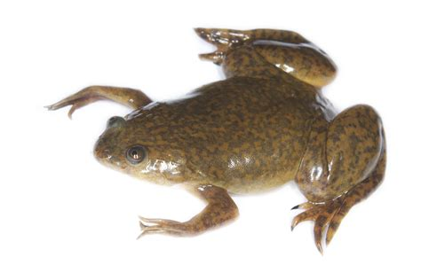 african clawed frog facts habitat diet pet care pictures