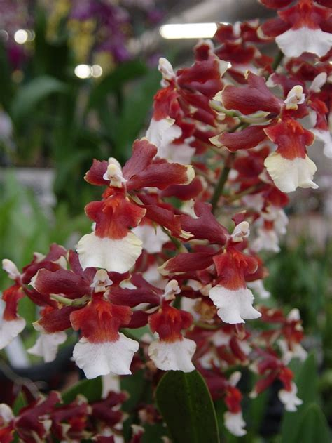 Orencia Also Search For Hawaiian Orchids Moon Flower