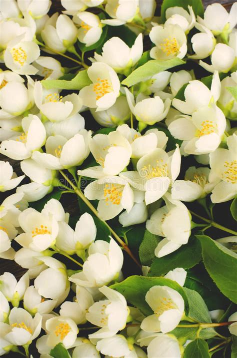 gelsomino fiore fiori di un gelsomino mazzo immagine stock immagine