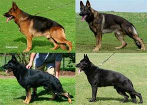 colors of german shepherd the german shepherd war tv family