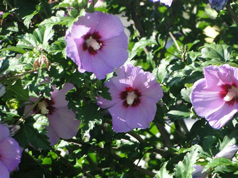 althea plant hibiscus syriacus minerva of shrub althea a fascinating green world