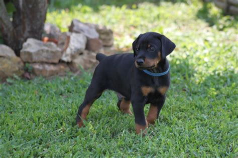 doberman puppy adorable doberman pinscher puppies for more puppies