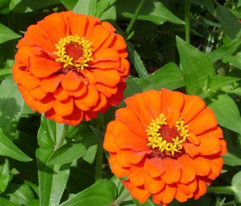 colore fiori linguaggio dei fiori di colore arancione il giardino