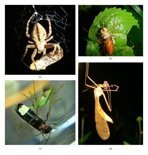 the dark side of the light show predators of fireflies in