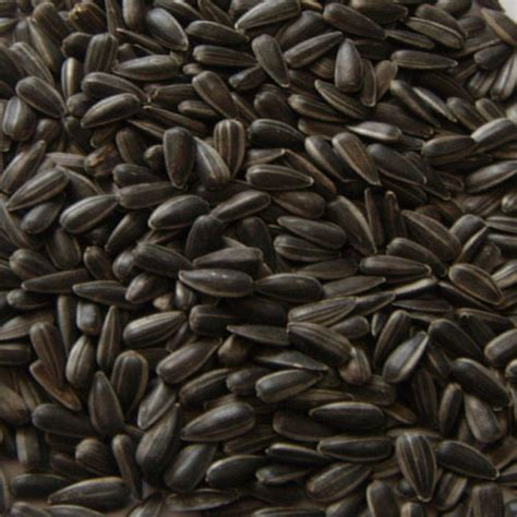 black sunflower seed canada sunflower seeds what are black sunflower seeds