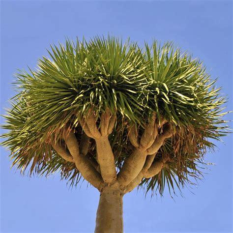Tree Plant - canary islands tree dracaena draco evergreen growers