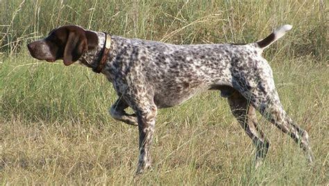pointers dogs german pointer wire haired breeders puppies and breed information