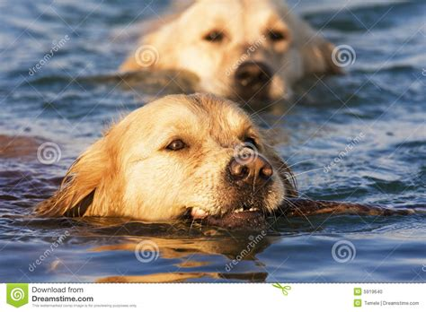 golden retriever in water golden retriever water breeds picture