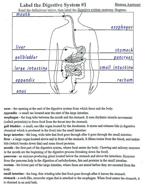 coloring book of human anatomy digestive system worksheet answers mckenna mrs home page