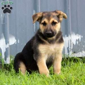 german shepherd puppies pa german shepherd puppies for sale greenfield puppies