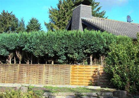 Blaue Scheinzypresse Pflege 5509 by Scheinzypresse Als Heckenpflanze Vorsicht Sehr