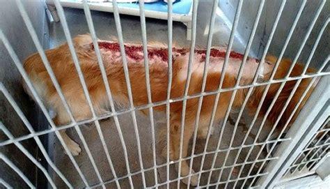fergus golden retriever fergus el perro al que lanzaron 225 cido y dieron por muerto se recupera y ahora por