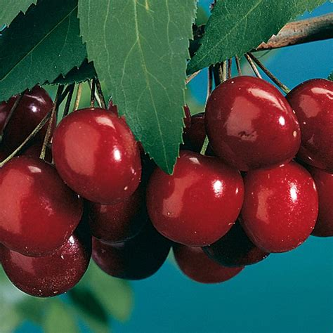 size fruit trees for sale black tartarian cherry cherry trees stark bro s