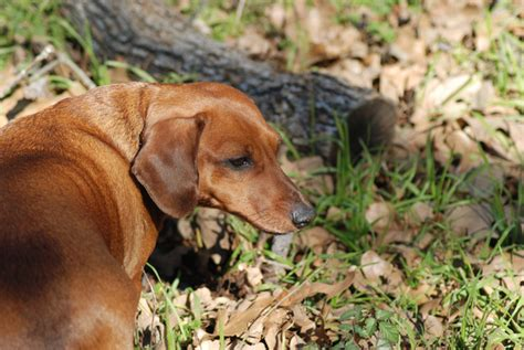 are acorns poisonous to dogs owners need to beware of this autumn danger acorns