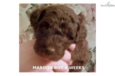 mini labradoodle puppies for sale nc labradoodle puppy for sale near greensboro carolina f9184e08 1941