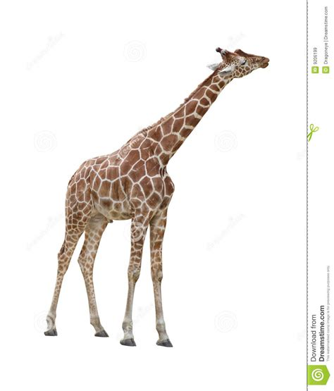 imagenes de jirafas para recortar giraffe kissing cutout stock image image of single