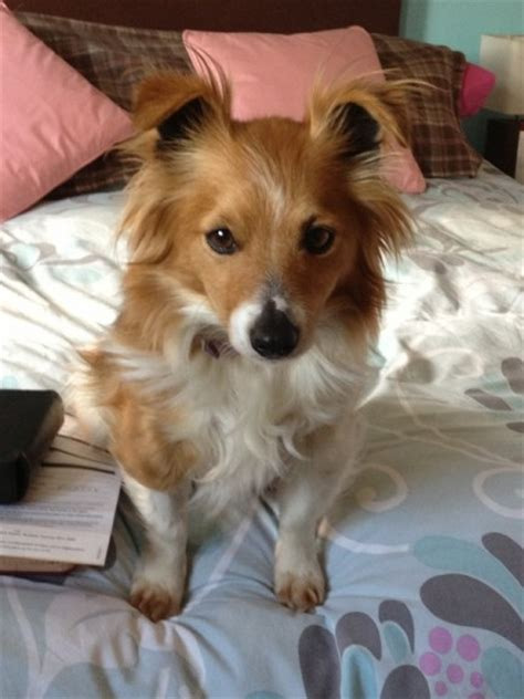 staffy cross pomeranian tess 7 year terrier cross pomeranian for adoption