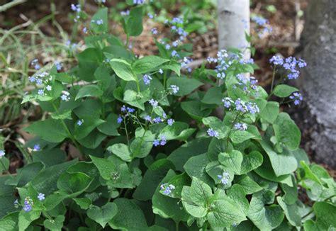 plant of the week brunnera macrophyla false forget me