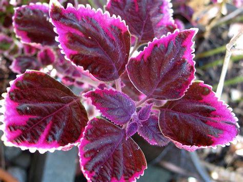 colourful foliage plants 17 best images about colourful foliage plants on