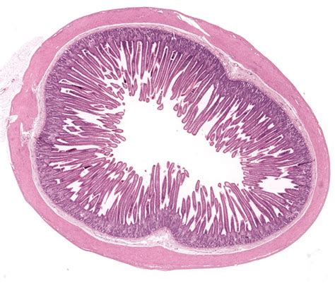 longitudinal section of small intestine small intestine histology special stains the jejunum is
