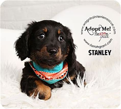 puppies for adoption omaha ne stanley adopted puppy omaha ne dachshund