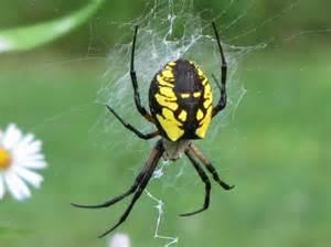 argiope aurantia yellow garden spider black and yellow