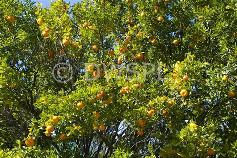 mandarin tree bearing fruit