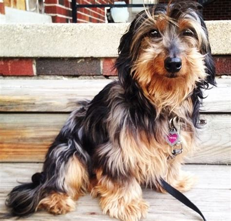 dachshund yorkie mix 14 terrier cross breeds you to see to believe