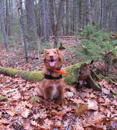 rescue dogs maine maine search rescue dogs for brunswick topsham land trust