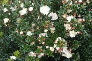 Shrub Flowers - plants amp flowers 187 myrtus communis
