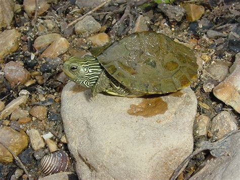 missouri map turtle commonmapturtle