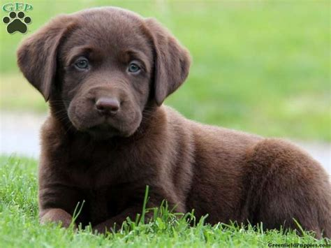 chocolate lab puppies for sale in pa hobbs chocolate lab puppy for sale from gap pa greenfield puppies puppies of the