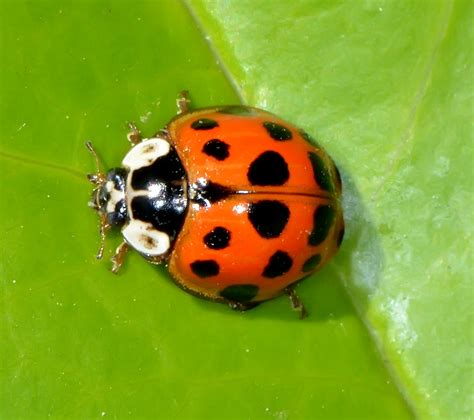 multicolored asian lady beetle animal patterns