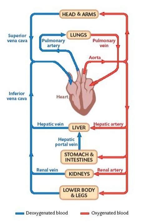Hepatic Artery Anatomy