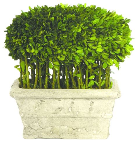 preserved boxwood topiary trees preserved boxwood stems topiary contemporary plants