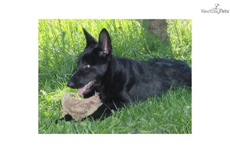 solid black german shepherd puppies for sale solid black german shepherd puppies for sale breeds picture