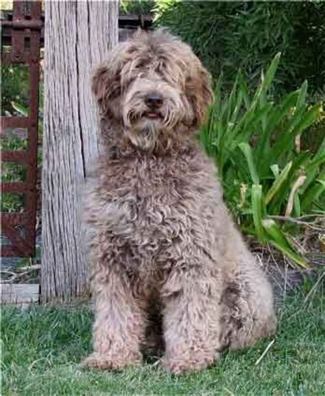 mini labradoodles massachusetts 25 best ideas about labradoodle pictures on