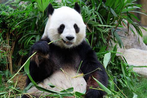 one panda panda soffk7