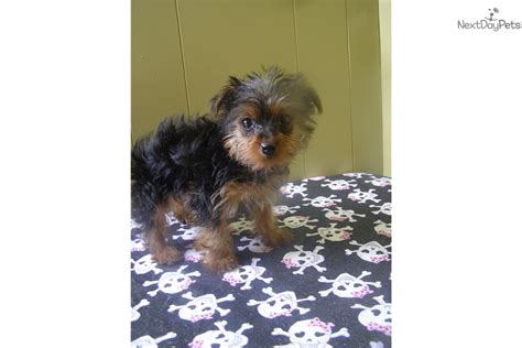 yorkie breeders in nj for sale terrier yorkie puppy for sale near jersey new jersey e8167565 03a1