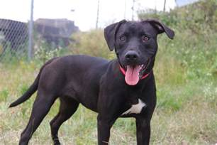 Black Pit Black American Pit Bull Dogs