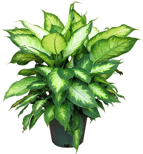 Salep Hd dieffenbachia mariana s 252 s bitkisi yapraklı salon s 252 s