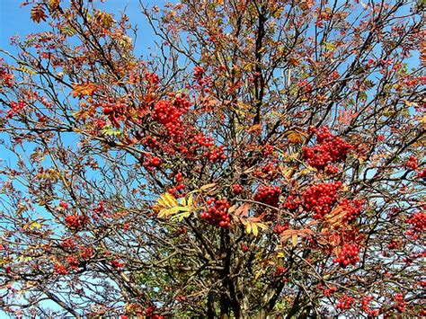 red berries on autumn tree flickr photo sharing