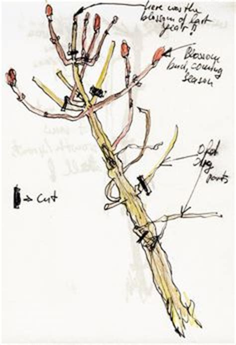 1000 images about pruning trees and shrubs on pinterest pruning roses wisteria and caring