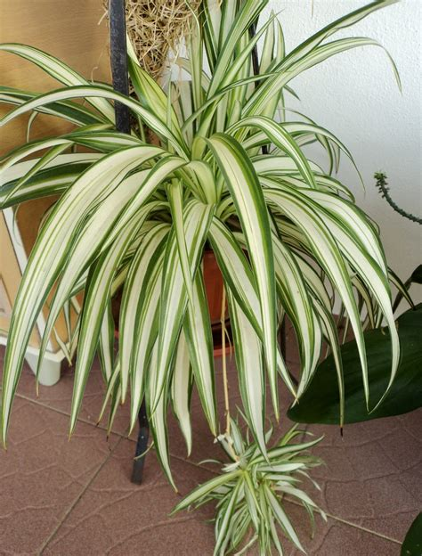 spider plant laman kambatik plants list 3rd ed chlorophytum