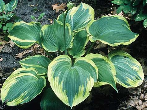 hosta earth angel large hosta of the year 2009 white blooms