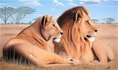 imagenes de leones macho y hembra animales fotos dibujos imagenes fotos de leones leon leona