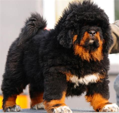 how much is a tibetan mastiff puppy put an end to the high value sale of breeds forcechange